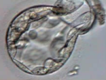 Hatching of a blastocyst