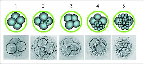 embryo_growth14