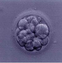 embryo_growth15