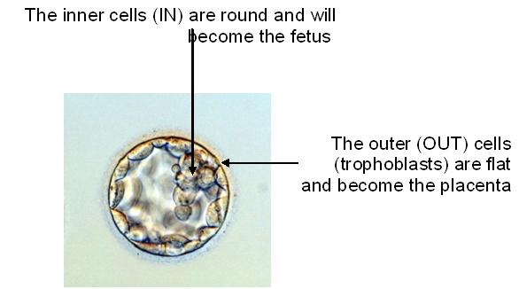 embryo_growth17